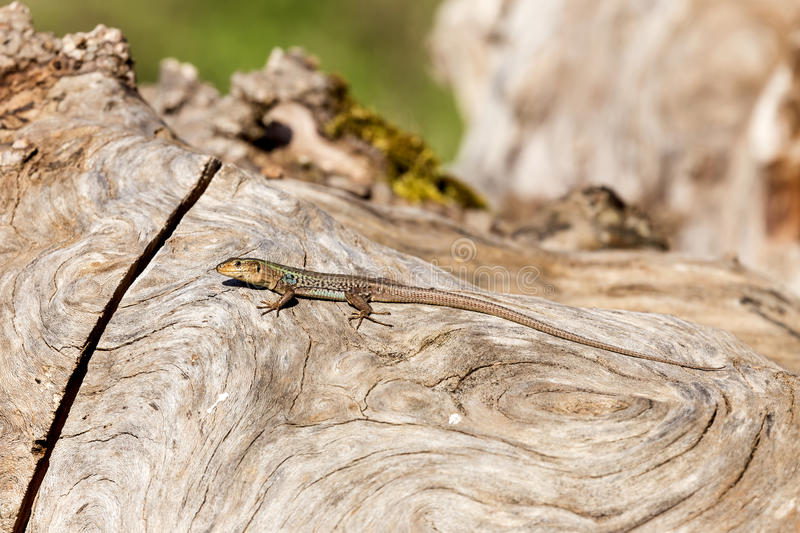 The lizard sits on a tree. Beautiful lizard sits on a tree close-up on a sunny day stock image