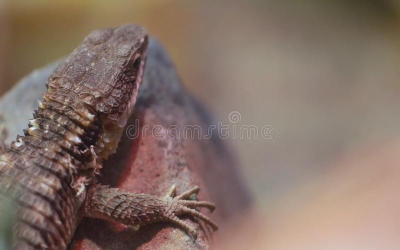 Lizard sitting on a rock in the Palm Springs desert stock photography