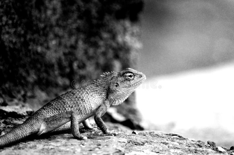 Lizard. Is sitting at same position and staring at his goal royalty free stock photos