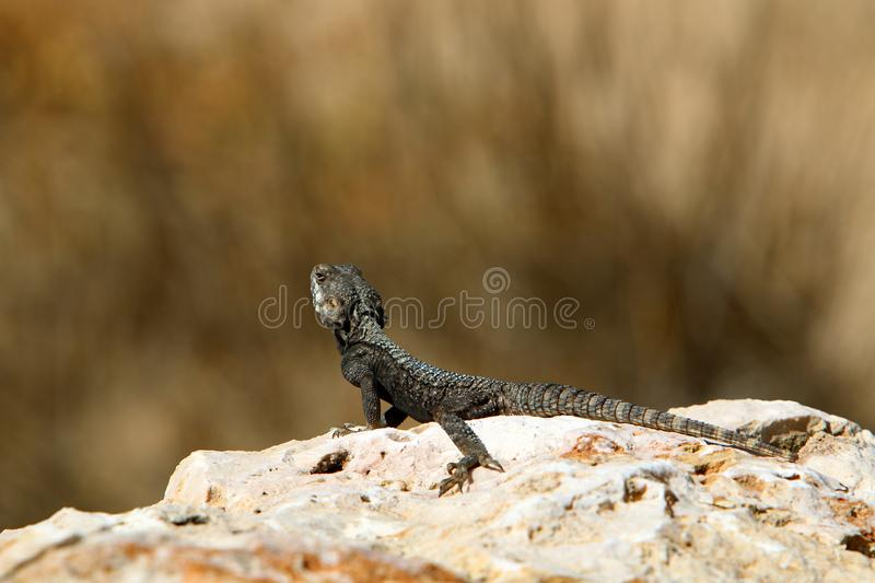 Lizard sitting on a stone. The lizard sits on a rock and basks in the sun stock image