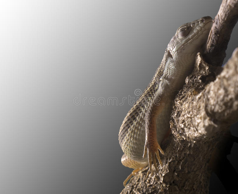 Download Lizard Sleeping Peacefully On A Branch Stock Image - Image: 20534775