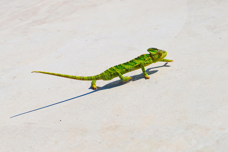 Lizard slowly creeping up. Beautiful, colorful fun lizard creeping up royalty free stock photography