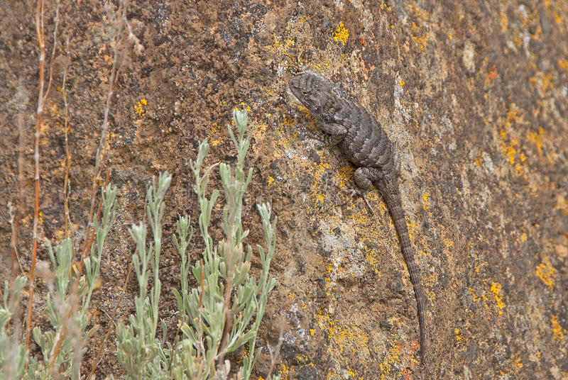 Download Lizard stock photo. Image of arid, shallow, hills, selective - 39501280