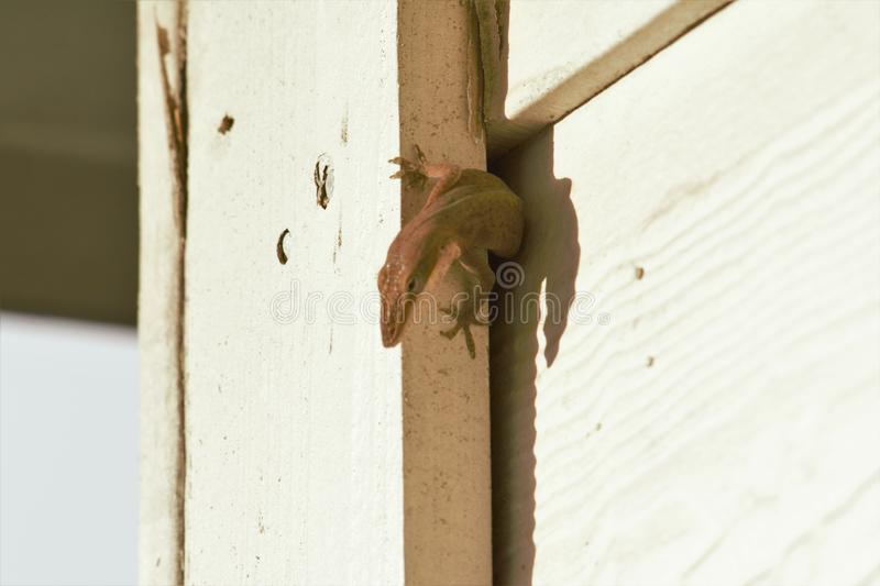 Lizard squeeze in wall stock image