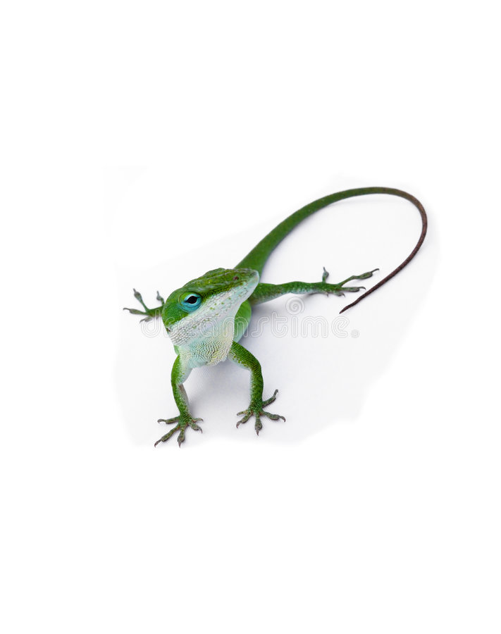 Lizard staring. Isolated on white royalty free stock photo