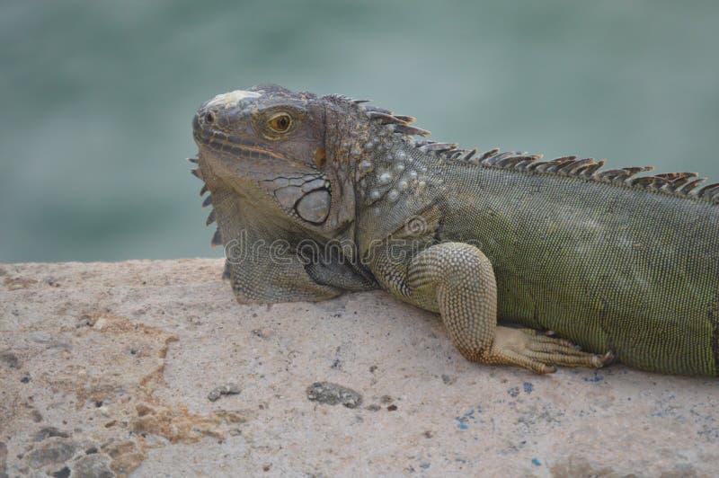 Lizard on steps near ocean stock photos