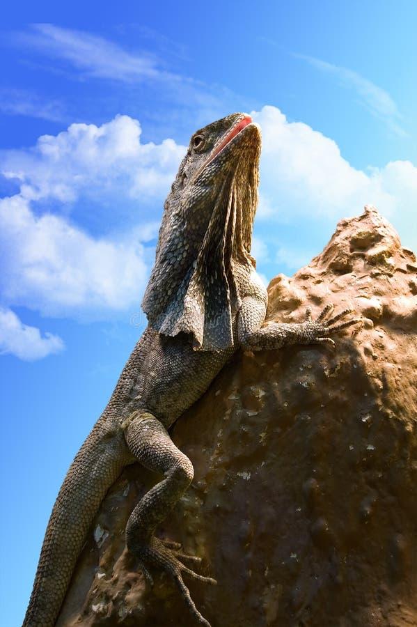Lizard on a stone stock image