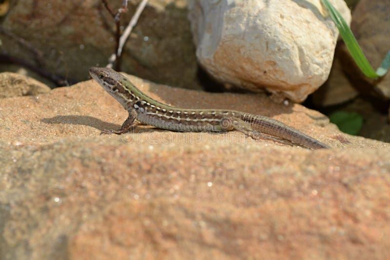Lizard on the stone stock photos