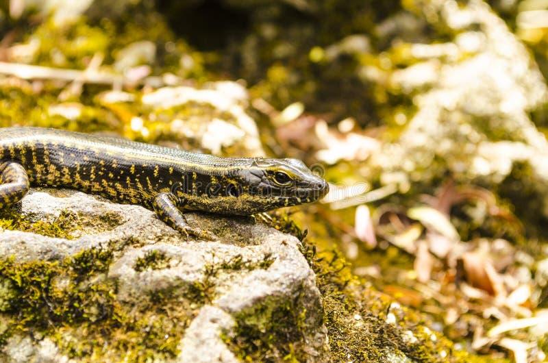 A lizard stock image