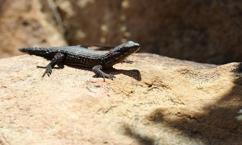 Download Lizard In The Sun Stock Photo - Image: 10850400