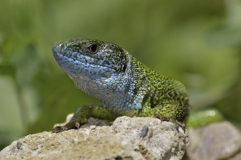 Lizard in the sun absorbs energy. On a hot stone stock images