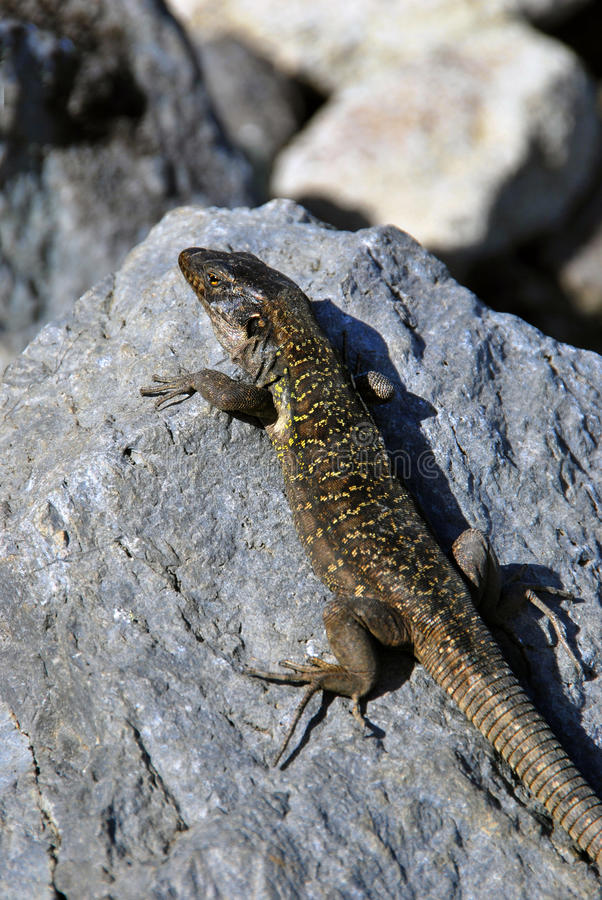 Download Lizard Sunbath stock photo. Image of black, creature - 17579832