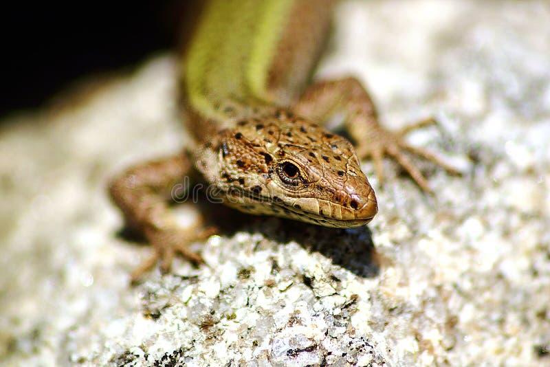 Download Lizard sunbathing stock image. Image of reptilian, plant - 23552151