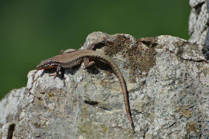 Lizard sunbathing. royalty free stock photo