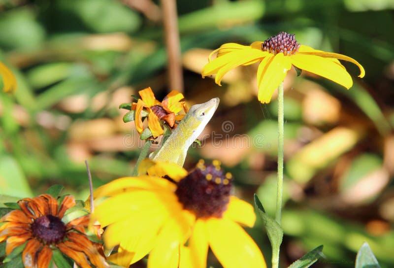 Lizard in Sunflowers stock image
