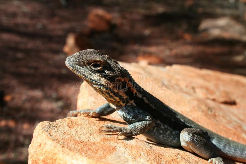 Download Lizard Sunning Royalty Free Stock Photo - Image: 25870025