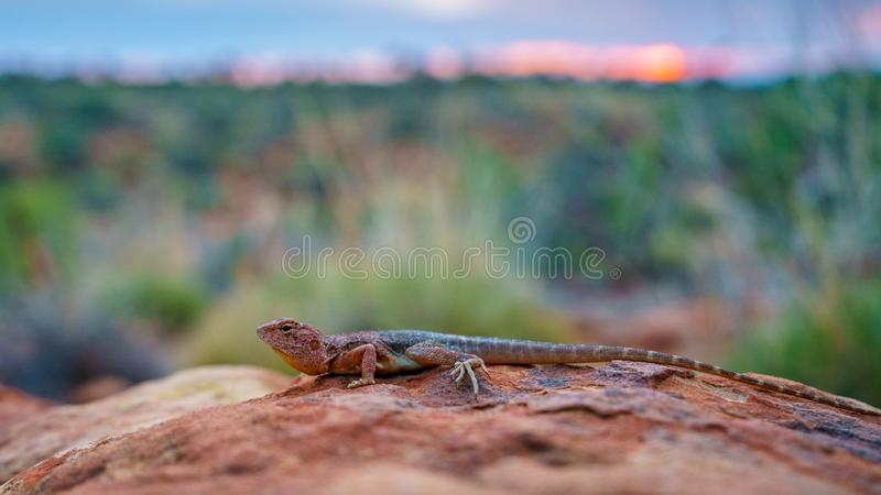 Lizard in the sunset of kings canyon, northern territory, australia 3. Portrait of a lizard in the sunset of kings canyon, northern territory, australia royalty free stock photo