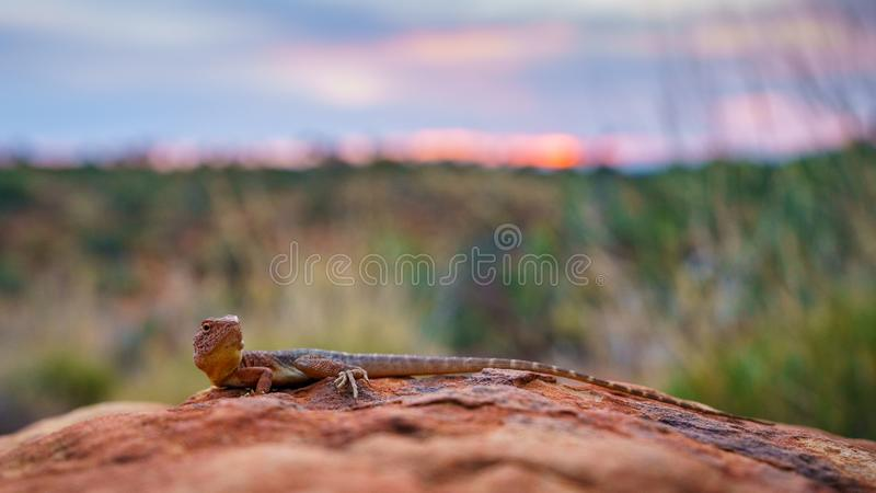 Lizard in the sunset of kings canyon, northern territory, australia 7. Portrait of a lizard in the sunset of kings canyon, northern territory, australia royalty free stock photography
