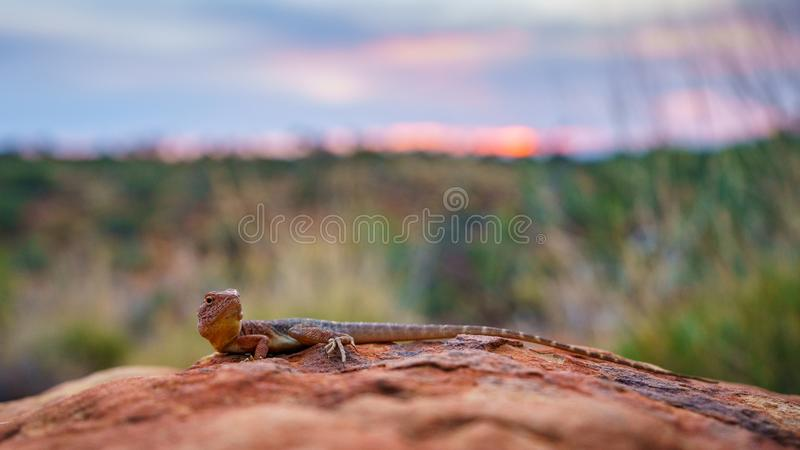 Lizard in the sunset of kings canyon, northern territory, australia 10. Portrait of a lizard in the sunset of kings canyon, northern territory, australia royalty free stock photography