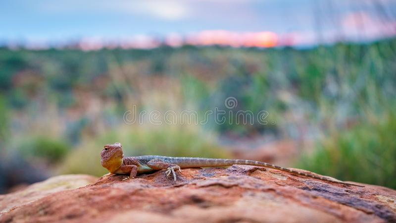 Lizard in the sunset of kings canyon, northern territory, australia 11. Portrait of a lizard in the sunset of kings canyon, northern territory, australia stock images