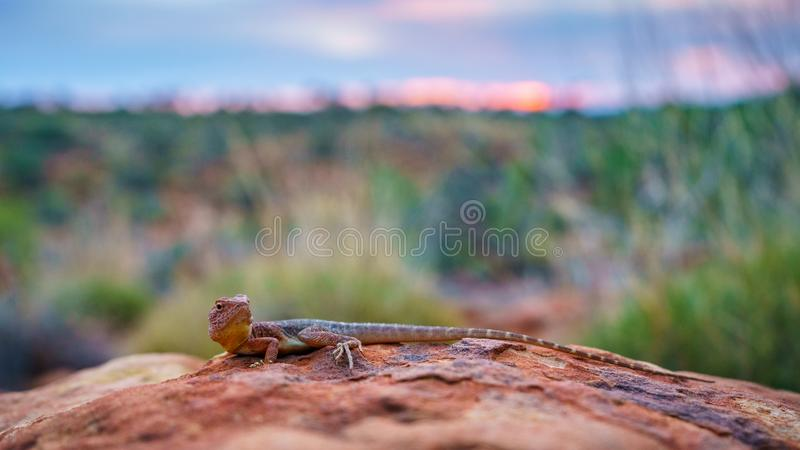 Lizard in the sunset of kings canyon, northern territory, australia 12. Portrait of a lizard in the sunset of kings canyon, northern territory, australia royalty free stock photos