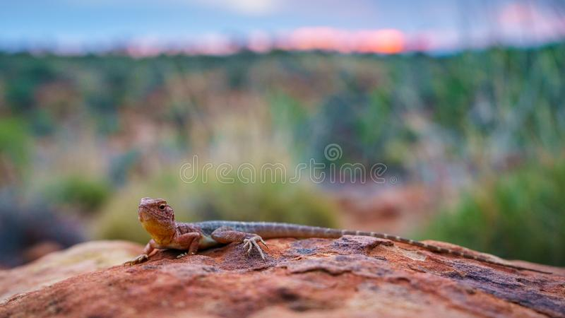 Lizard in the sunset of kings canyon, northern territory, australia 14. Portrait of a lizard in the sunset of kings canyon, northern territory, australia stock photos