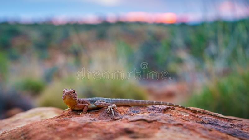 Lizard in the sunset of kings canyon, northern territory, australia 13. Portrait of a lizard in the sunset of kings canyon, northern territory, australia stock photo