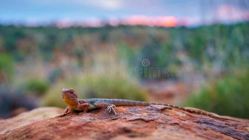 Lizard in the sunset of kings canyon, northern territory, australia 15. Portrait of a lizard in the sunset of kings canyon, northern territory, australia stock photography
