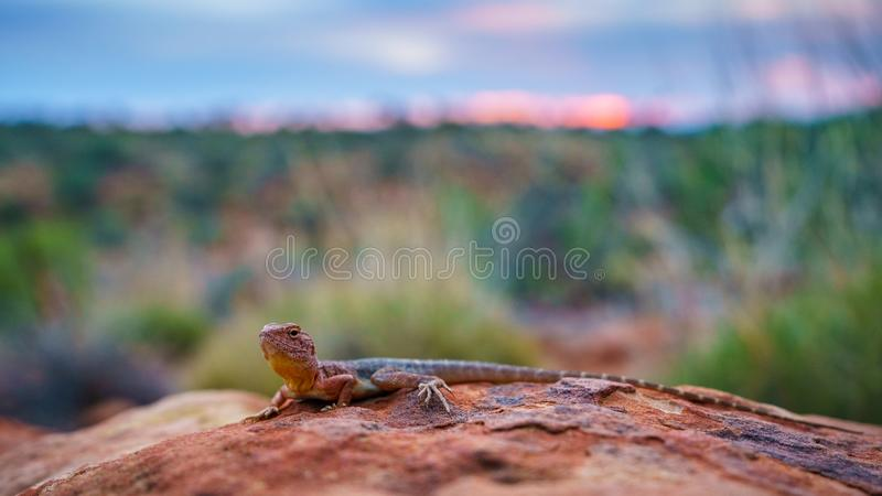 Lizard in the sunset of kings canyon, northern territory, australia 19. Portrait of a lizard in the sunset of kings canyon, northern territory, australia stock photo