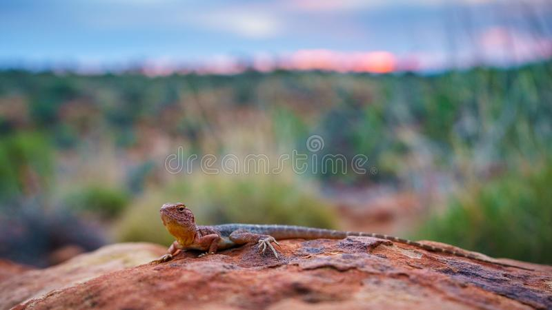 Lizard in the sunset of kings canyon, northern territory, australia 20. Portrait of a lizard in the sunset of kings canyon, northern territory, australia stock photography