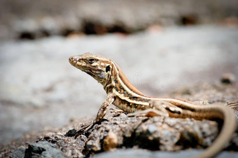 Download Lizard taking sun stock image. Image of masked, gecko - 34194453