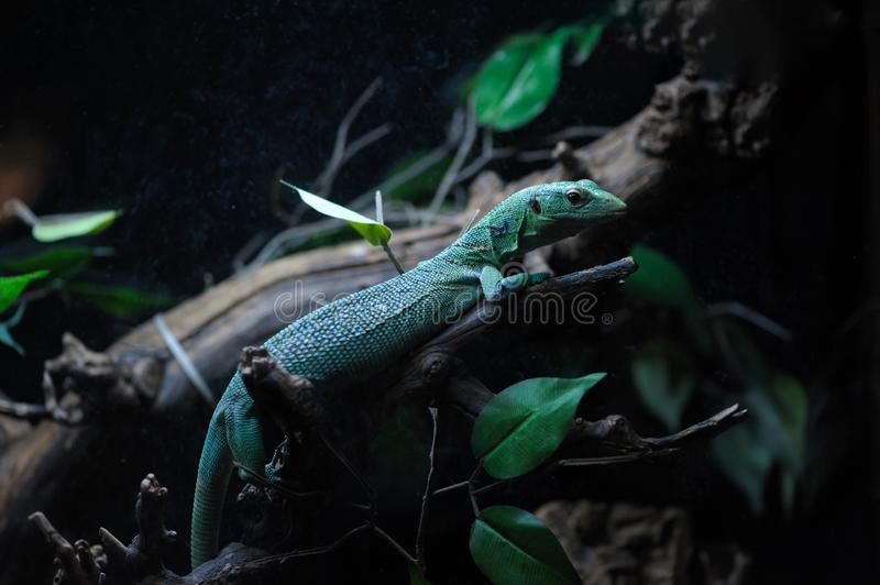 Lizard in the terrarium royalty free stock photography