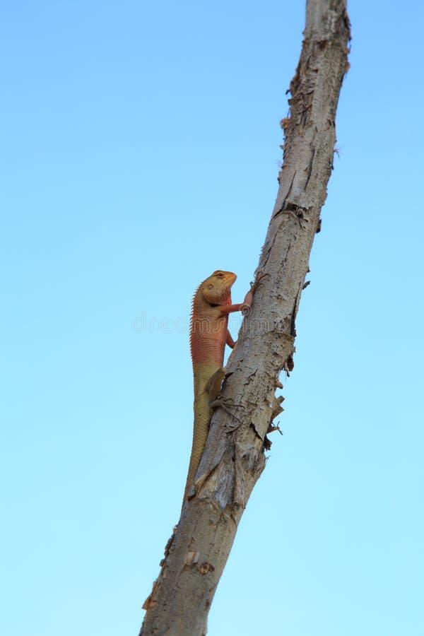 Lizard. Thai chameleon in sky background stock images