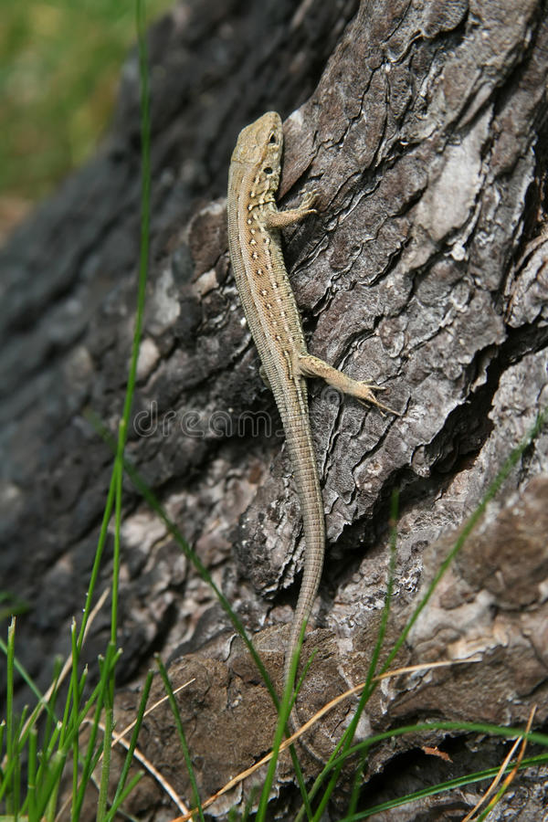 Download Lizard on a tree stock photo. Image of lizard, green - 17489384