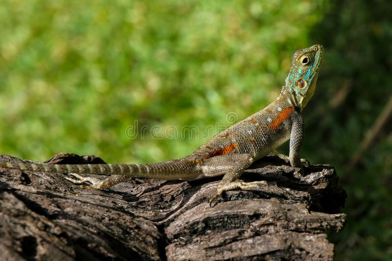 Lizard on tree bark royalty free stock photos