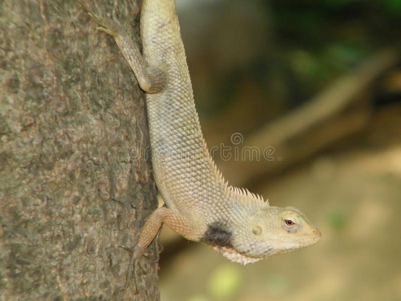 The lizard in the tree stock photos