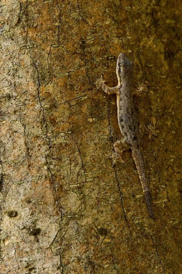 Lizard and tree. The lizard is holding on to the tree, where the color of the bark and its body are similar stock image