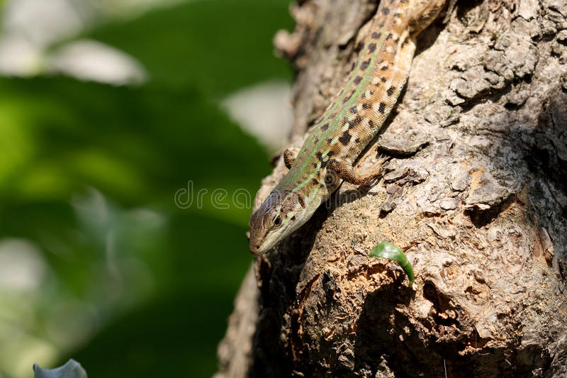 Download Lizard on tree trunk stock photo. Image of creature, climber - 32520624