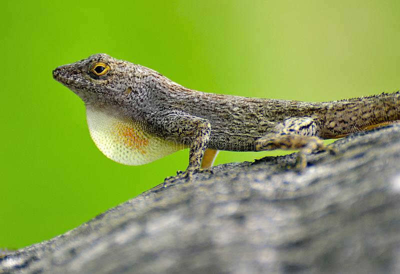 Lizard on the tree trunk royalty free stock photography