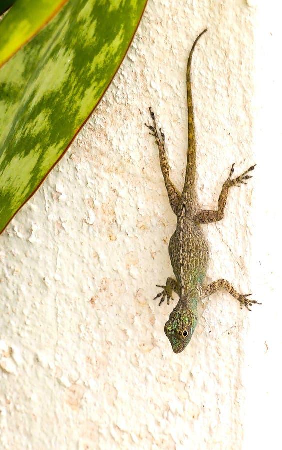 Lizard. Tropical lizard on a White wall stock photos