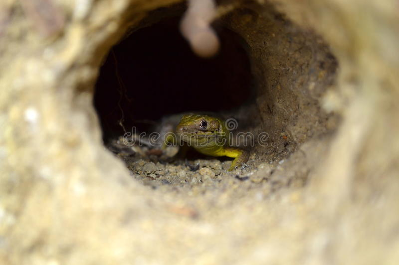 Lizard in a tunnel in the gound royalty free stock photography