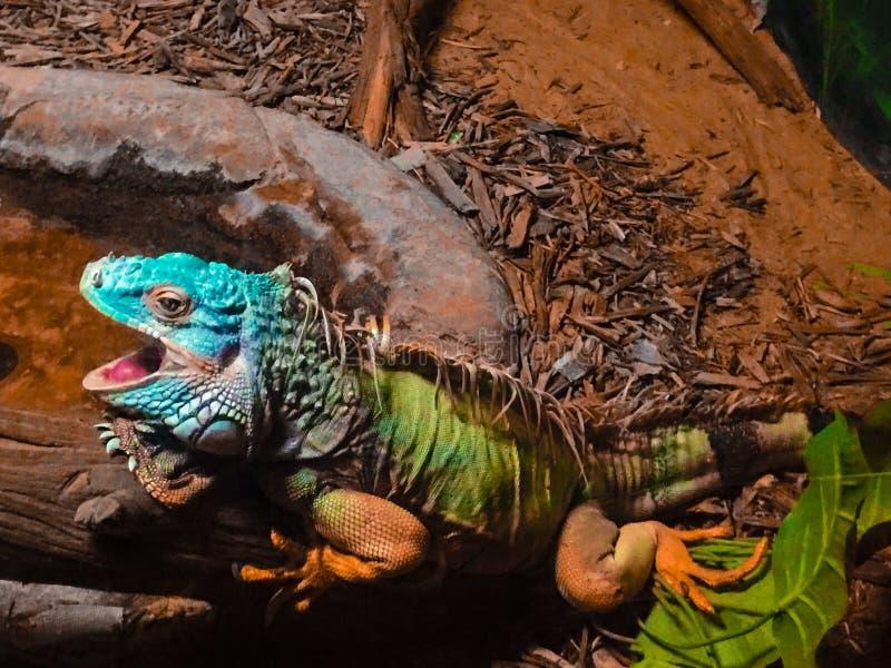 Lizard, the desert Abu Dhabi royalty free stock image