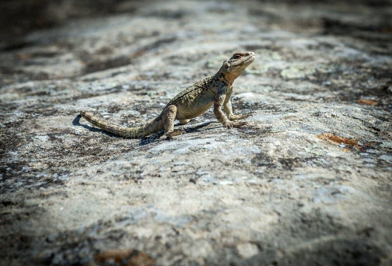 Lizard in Uplistsikhe rock town. Small agamid lizard in ancient rock-hewn town called Uplistsikhe in Georgia stock photo