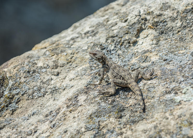 Lizard in Uplistsikhe rock town. Small agamid lizard in ancient rock-hewn town called Uplistsikhe in Georgia royalty free stock photography