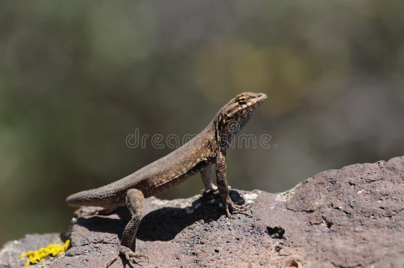 Lizard In Utah Stock Photos