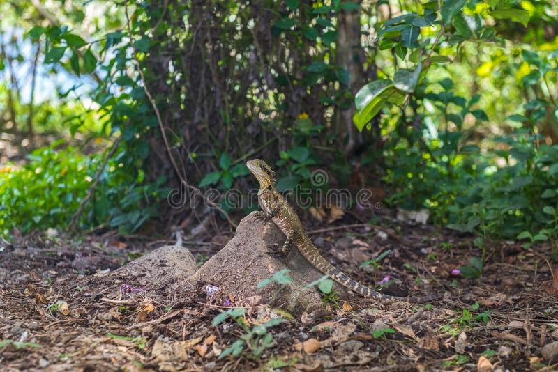 Lizard or varan sits on a stone in the wild in a park, Australia. Lizard or varan sits on a stone in the wild on a background of green park, Australia royalty free stock photos