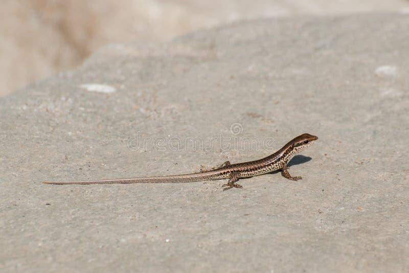 Lizard walking on rock stock image