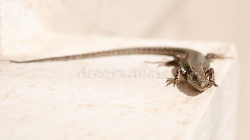 Download Lizard on white background stock image. Image of wild - 30358975