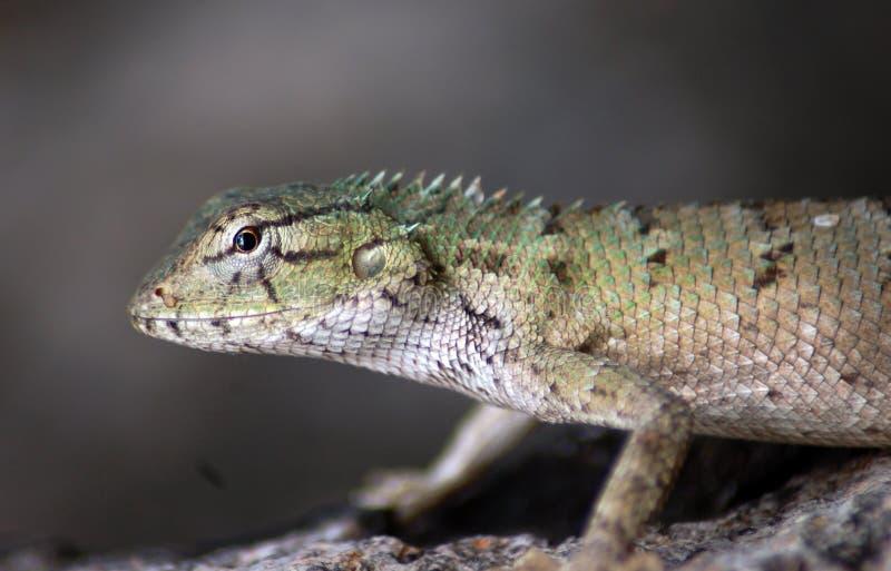 Lizard in wild