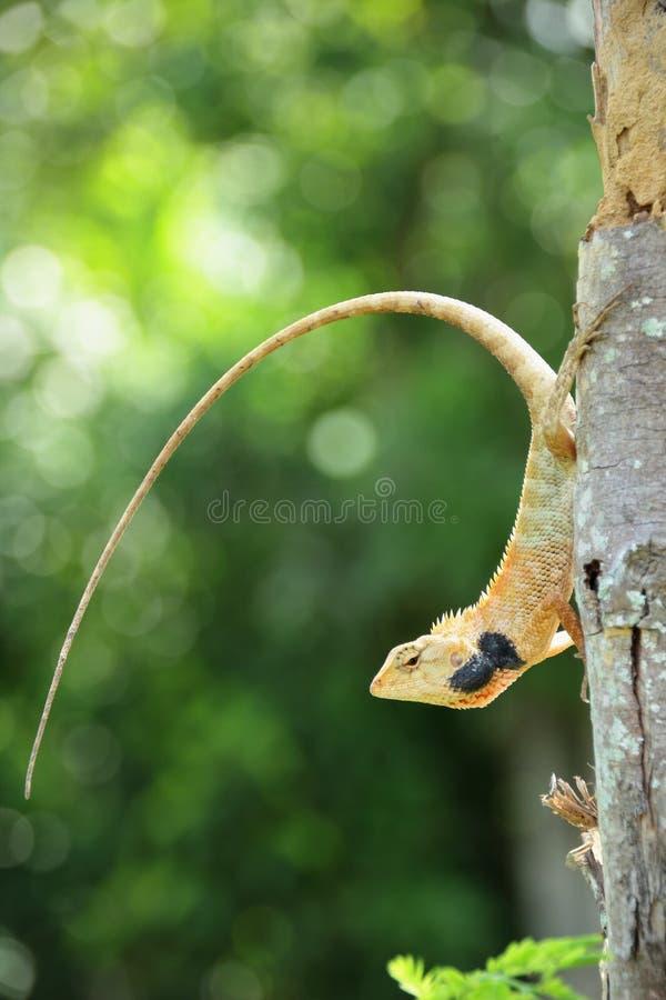 Lizard on wood stock photos